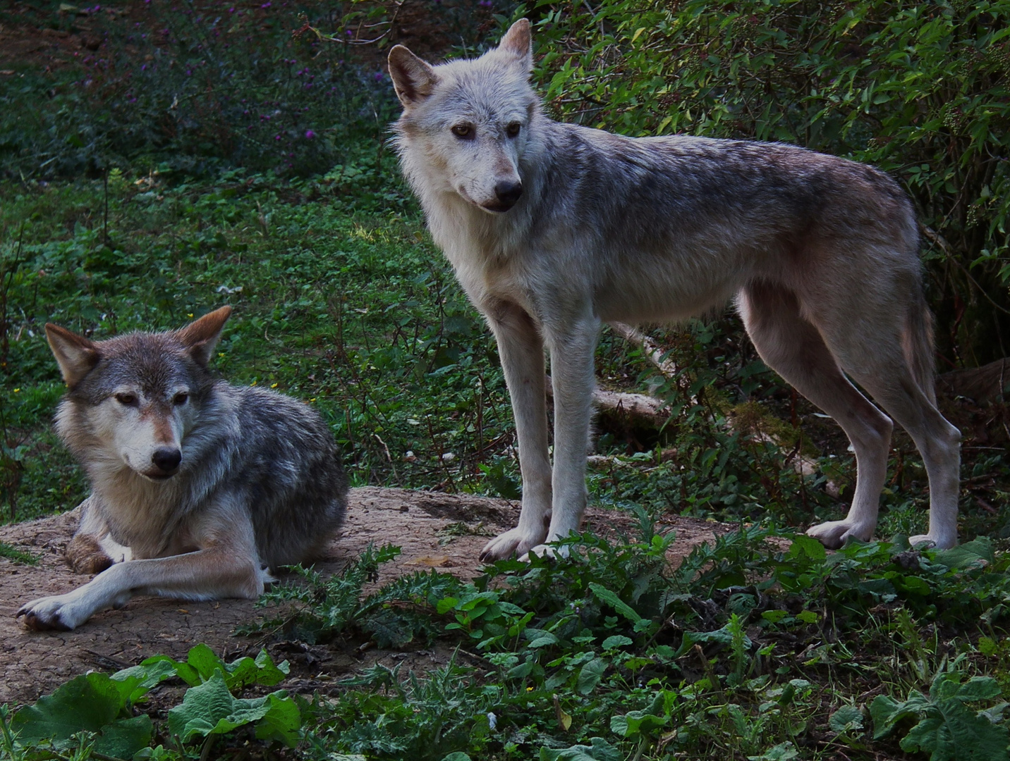 Canadian Timber Wolves