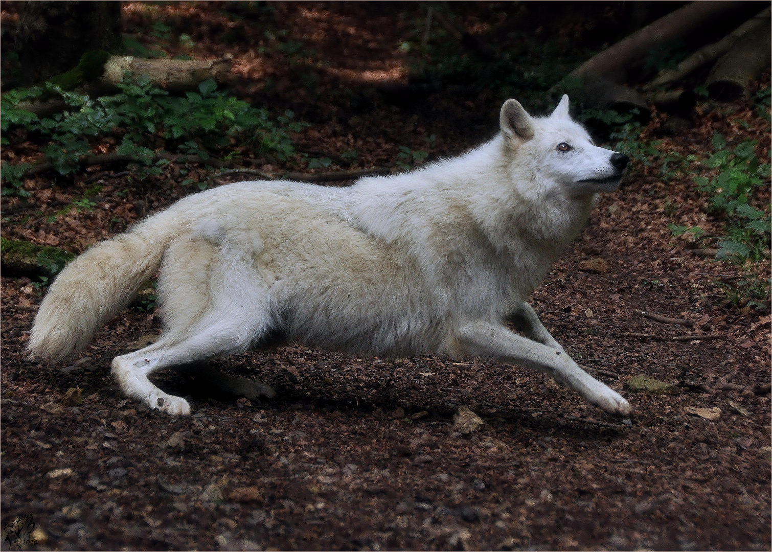 Canadian wolf ..