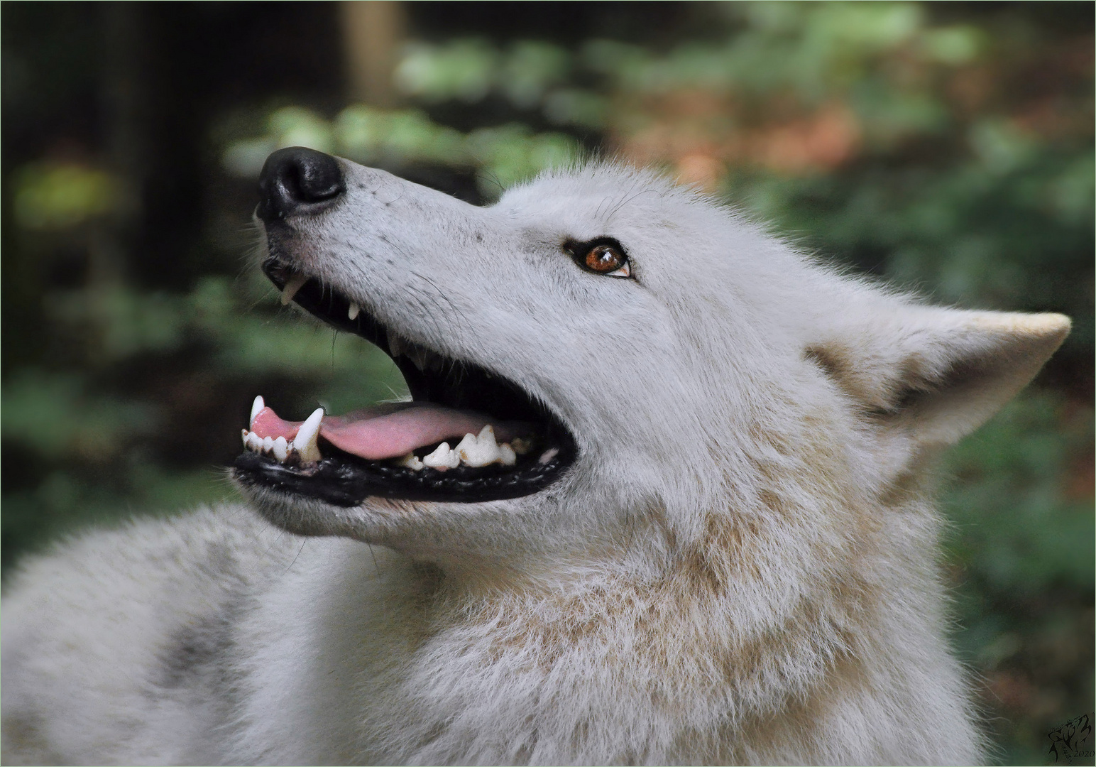 Canadian wolf  close up ..