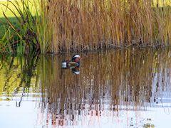 Canard au bord de l'eau - '7'