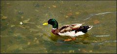 Canard sur la rivière à Odivelas