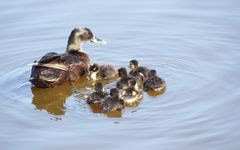 canards sauvages