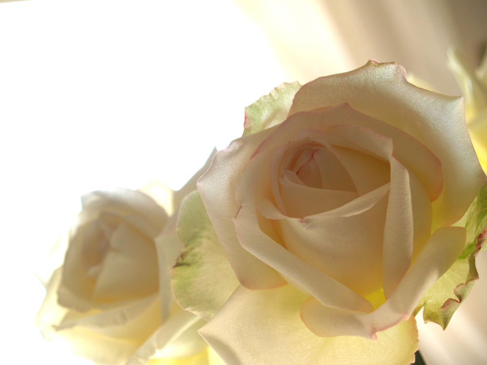 Candide Rose