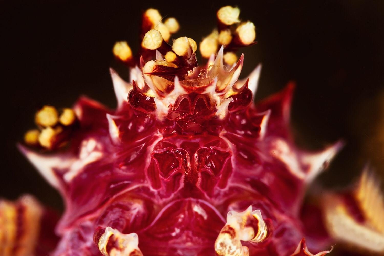 Candy crab head portrait