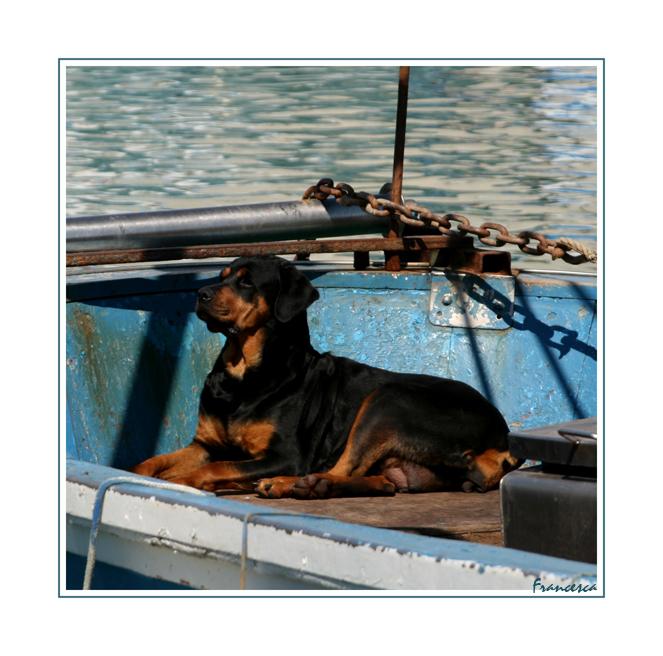 Cane da guardia costiera