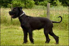 Caniche noir se promene