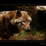 Canis Lupo (Der Wolf)