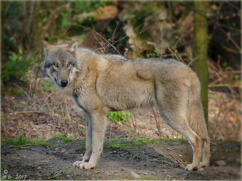 Canis lupus...