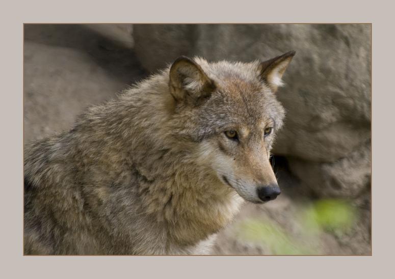 Canis lupus chanco.