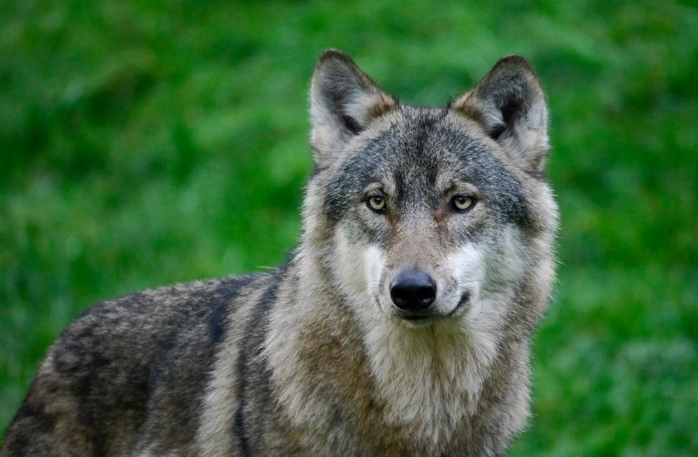 Canis lupus lupus (Eurasischer Wolf)