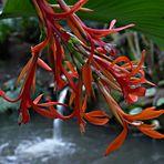 Canna Indica Indisches Blumenrohr