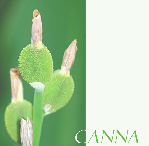 Canna2