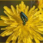 Cantaride officinale (Lytta vesicatoria Linnaeus, 1758)