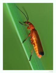 *Cantharidae*
