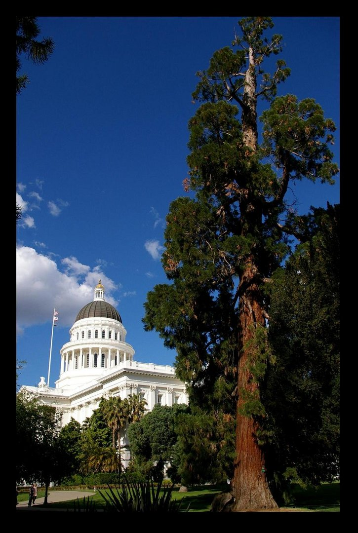 Capitol Sequoia - Sacramento