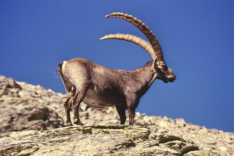 Capra Ibex 2
