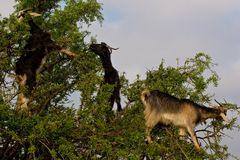 capre sugli alberi