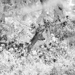 Capriolo infrared