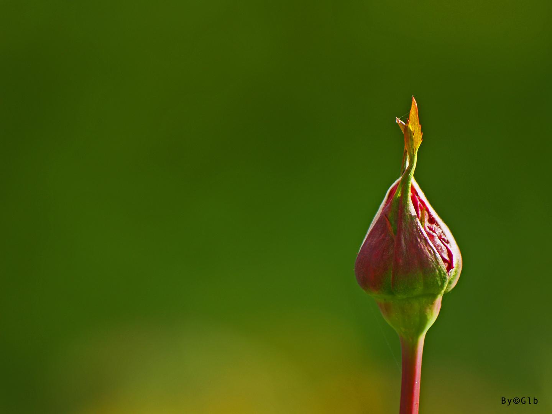 Capullo Floral