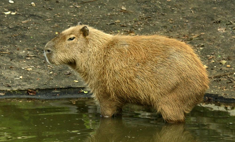 Capybara im Tierpark Herberstein