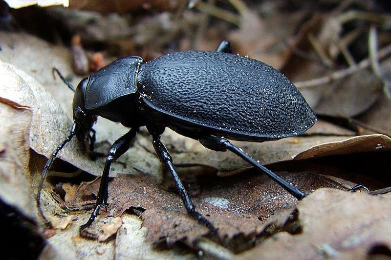 Carabus coriaceus - familie Carabidae