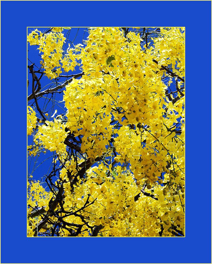 Caraganier arborescent (accacia jaune) -- Gelbe Akazie (caragana arborescens)