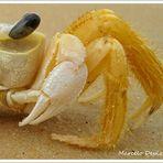Carangueijo de praia