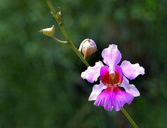 Carara Orchidee
