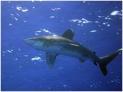Carcharhinus Longimanus (Reloaded)