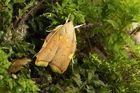 Carcina quercana