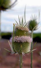 Cardo en flor