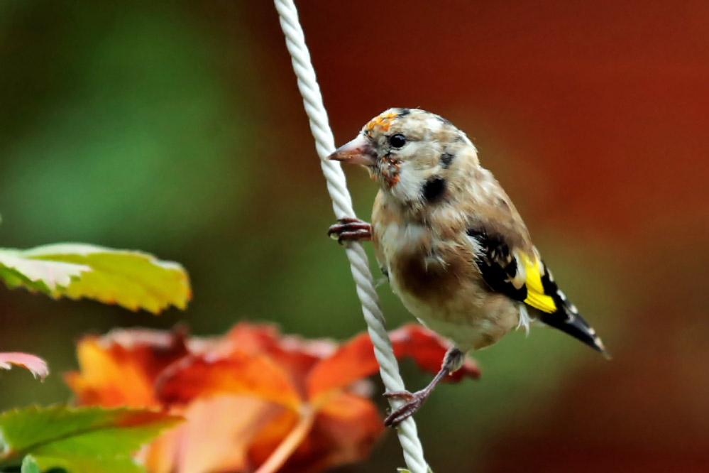 Carduelis carduelis - könnte ein Jungvogel sein