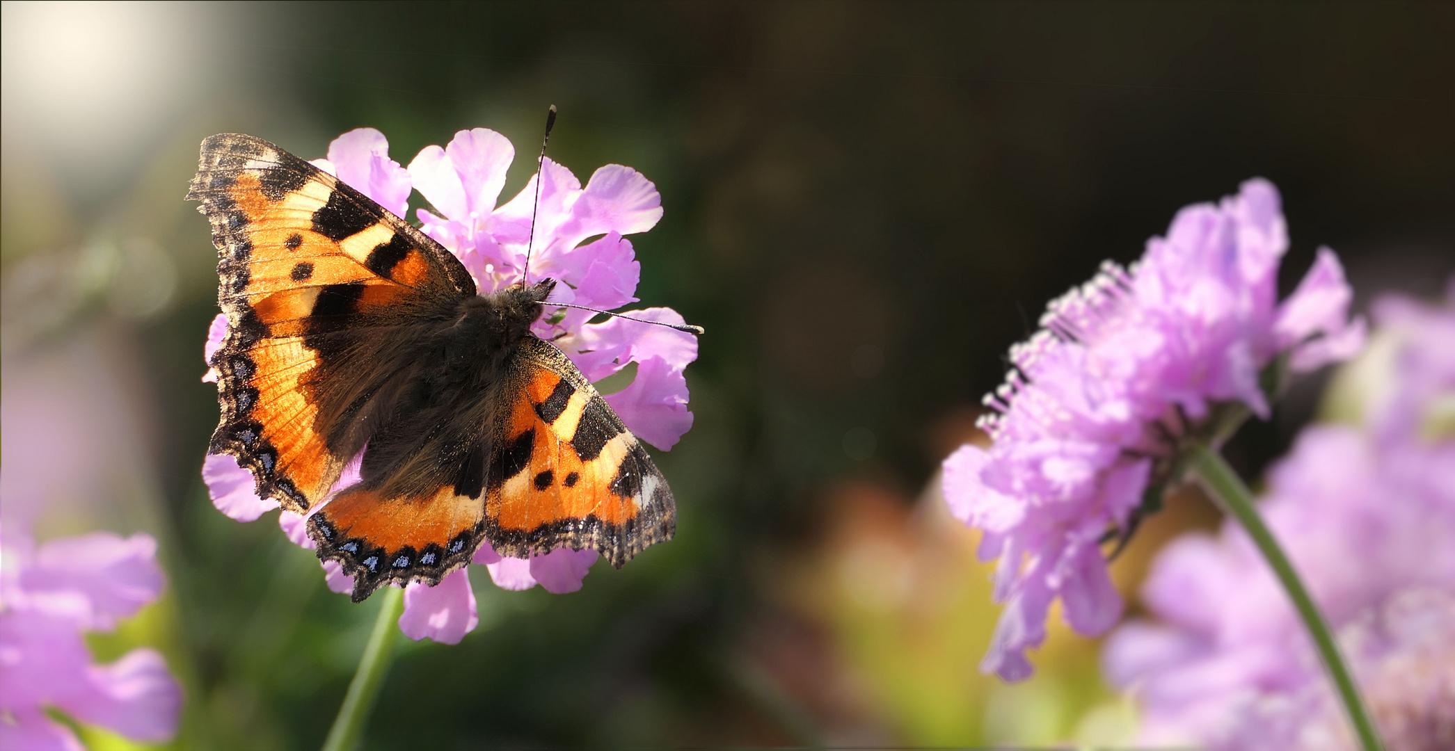... careless butterfly on a pink flower