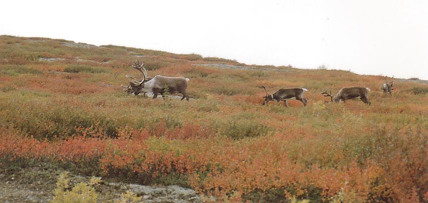 Caribous   -   Alaska