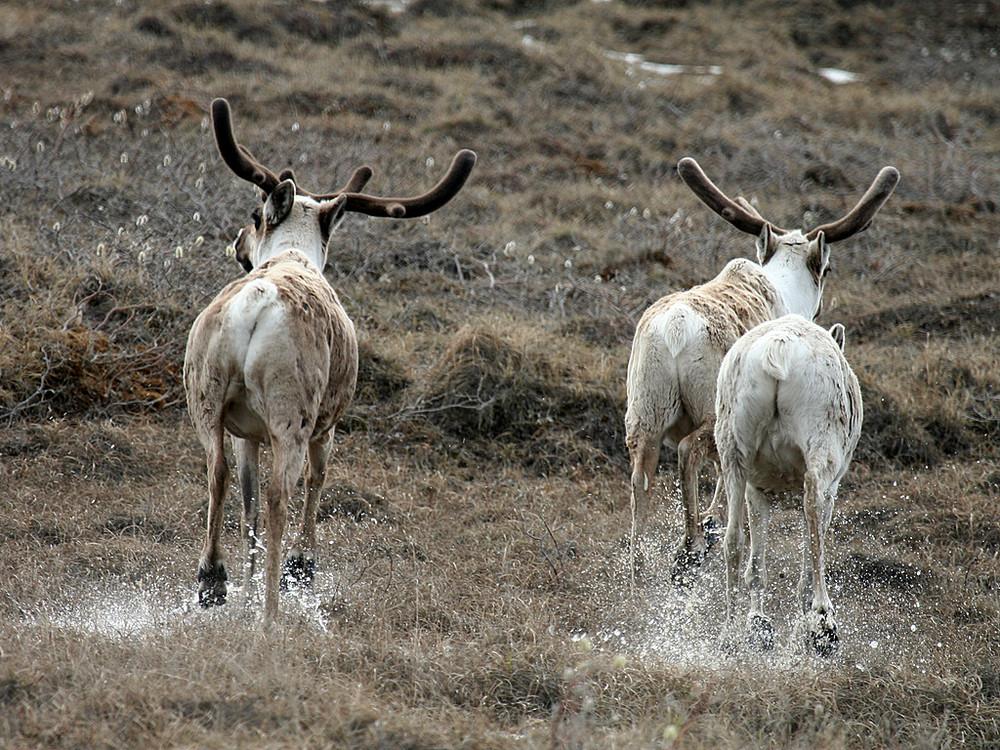 Caribous geben Gas