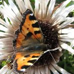Carlina con farfalla