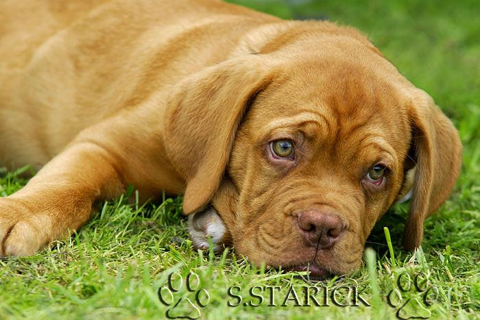 Carlos - kleine Bordeauxdogge
