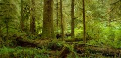 Carmanah Rainforest IV