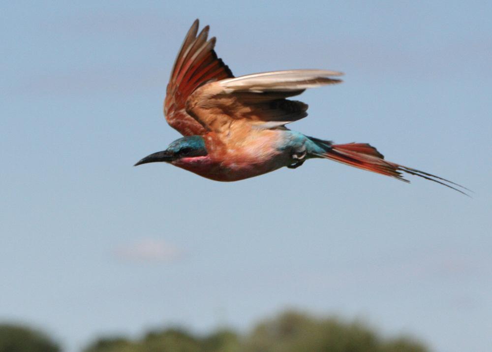 Carmine Bee-Eater, Okavango-Delta, Botswana