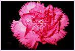 carnation flower(1)-