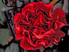 Carnation - the difficult red