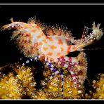 Carnival shrimp