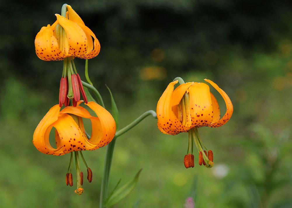 Carolina-Lilie (Lilium michaixii)