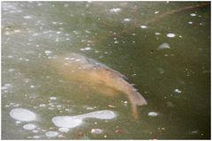 Carpe miroir qui en a marre de se mirer dans la glace de cette mare...
