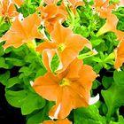 Carpet of Orange Flowers