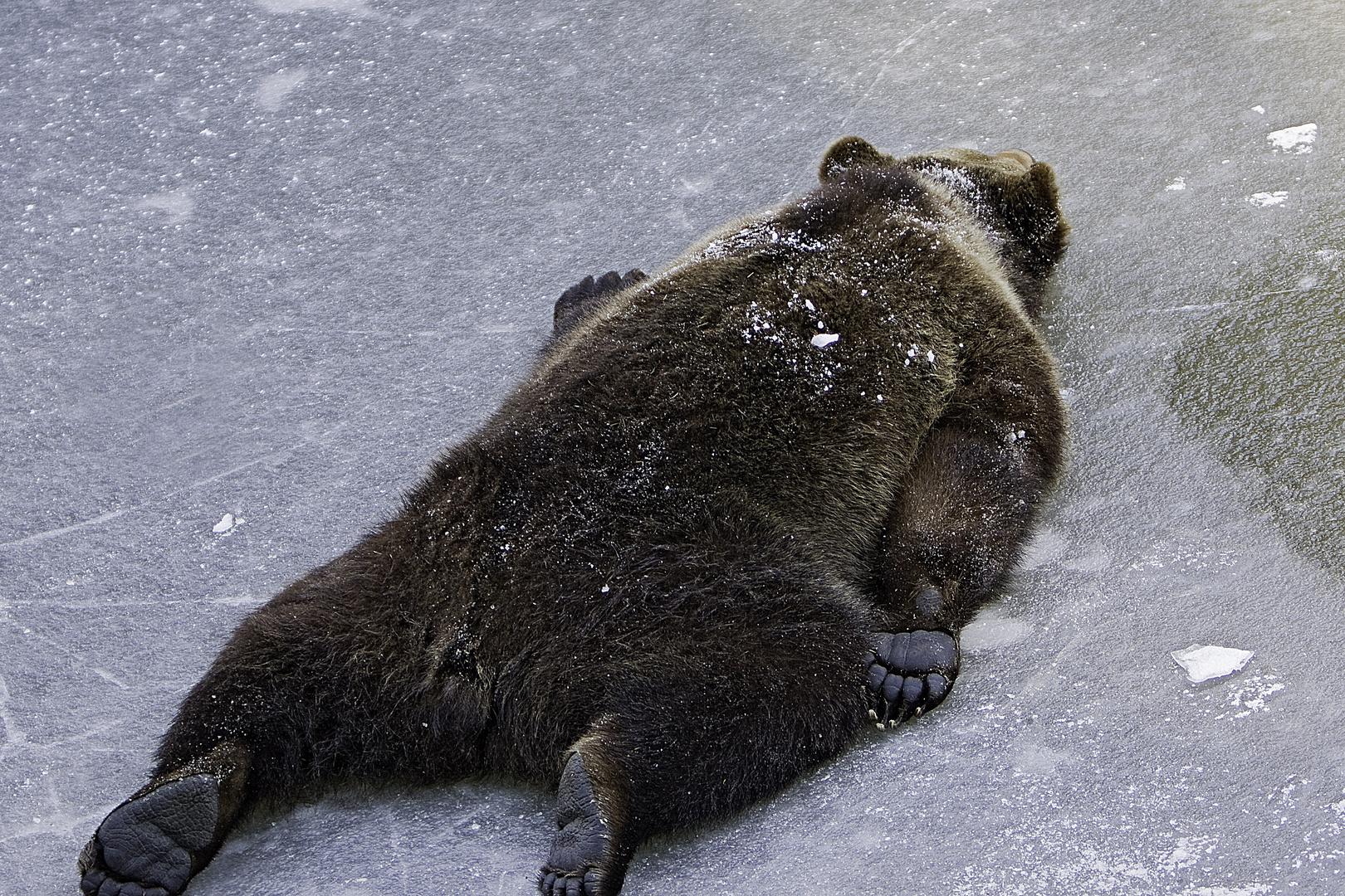 """"""" Carpette d'ours vivante """""""