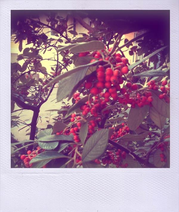 cartolina di more rosse