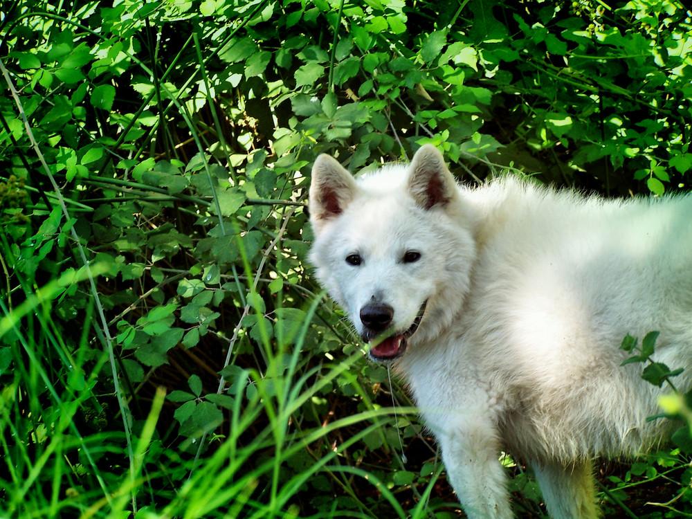 Casi un lobo