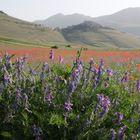Castelluccio: la fioritura