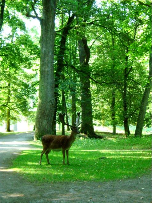 Castle Park Blatná - fallow deer